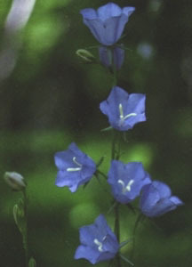 Bellflower_campanula_persicifolia-1.medium.detail