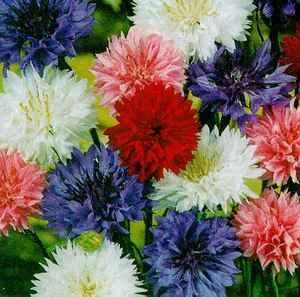 Annuals_centaurea_cyanus-1.medium.full