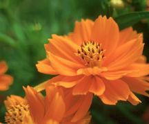 Cosmos_cosmos_sulphureus_cosmic_orange-1.medium.full