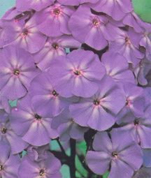 Phlox_phlox_paniculata_blue_boy-1.medium.detail