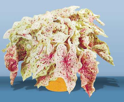 Bulbs_caladium_miss_muffet-1.full
