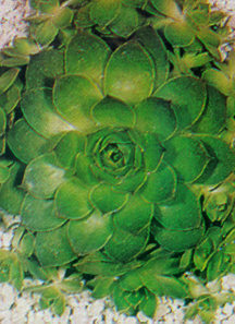 Hen & Chicks 'Mixture'
