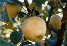 Apple Tree, Semi-dwarf 'Pink Pearl'