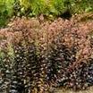 Stonecrop, 'Mohrchen'