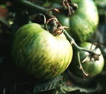 Tomato, Bicolor Green Zebra