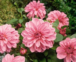 Bulbs_dahlia_lavender_perfection-1.medium.full