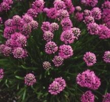 Alliums_allium_senescens-1.medium.detail