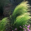 Ornamental_grasses_stipa_tennuifolia-1.thumb