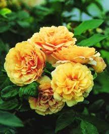 Rose, Antique Hybrid Musk 'Buff Beauty' (1939)