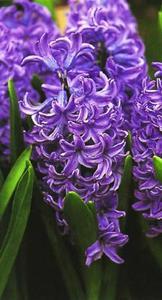 Hyacinth, Dutch 'Ostra'