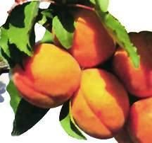Apricot Tree, Stark® SweetHeart™ standard