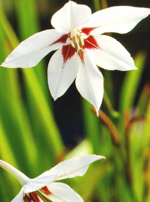 Bulbs_gladiolus_murielae-1.full