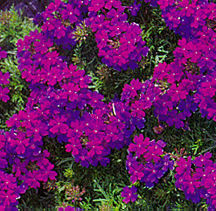 Verbena, Tapien® 'Blue-Violet'