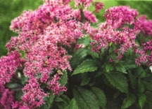 Perennials_eupatorium_fistulosum_gateway-1.full