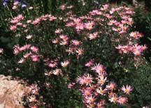 Chrysanthemum, 'Clara Curtis'
