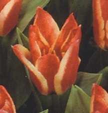 Tulips_tulipa_greigii_pinocchio-1.full
