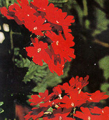 Verbena, Temari™ 'Bright Red'