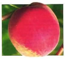 Peach Tree, 'Stark® Early White Giant™' standard