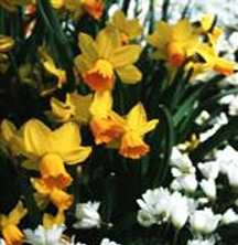 Daffodils_and_narcissus_narcissus_cyclamineus_jetfire-1.full