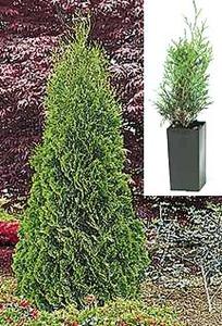 Arborvitae Tree, Emerald