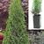 Hedges: Thuja occidentalis 'Smaragd'