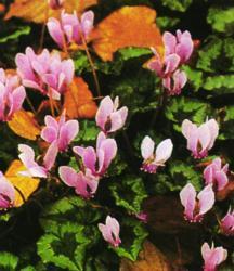 Cyclamen_cyclamen_neapolitanum_c._hederifolium-1.full