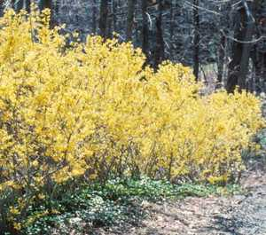 Forsythia, Northern Sun