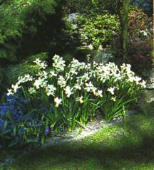 Daffodils_and_narcissus_narcissus_cyclamineus_jenny-1.full
