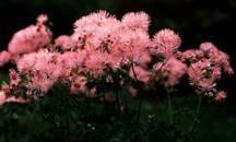 Meadow Rue, aquilegiafolium