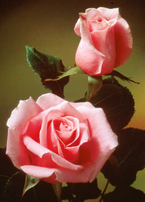 Hybrid_teas_rosa_bewitched-1.full