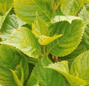 Hydrangea, Big Leaf 'Nikko Blue'