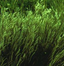 Grass, Little Bluestem