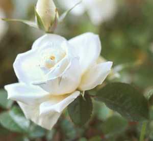 Rose, Floribunda 'Princess of Wales'