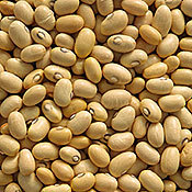 Bean_hutterite_dry_bush_bean.full