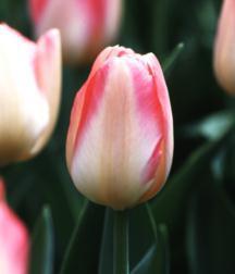 Tulip, Darwin 'Tender Beauty'