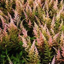 Astilbe, 'Finale'