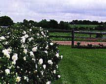 Rose, Antique Rugosa 'Sir Thomas Lipton' (1900)