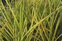 Grass, Sedge 'Bowles Golden'