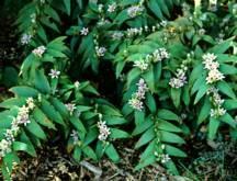 Perennials_tricyrtis_hirta-1.full