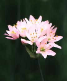 Allium, 'Grandiflorum'