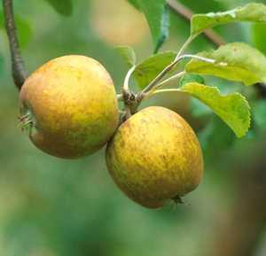 Apple Tree, Semi-dwarf 'Golden Russet'