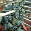Brussel_sprout_long_island.thumb