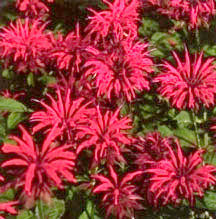 Herbs_monarda_cambridge_scarlet-1.full