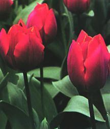 Tulips_tulipa_couleur_cardinal-1.full