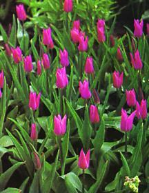 Tulip, Lily-flowered 'China Pink'