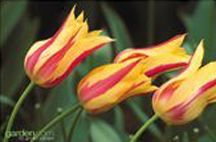 Tulips_tulipa_mona_lisa-1.full