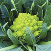 Cauliflower_veronica.thumb