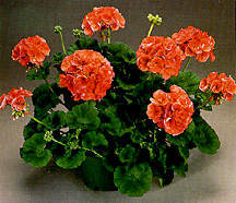 Geranium, Zonal 'Evening Glow'