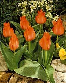 Tulip, Greigii 'Sweet Lady'
