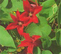 Clematis, Scarlet 'Gravetye Beauty'